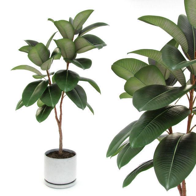 Ficus elastica decora medium 3D Model MAX OBJ 3DS FBX MTL ...  Ficus elastica ...