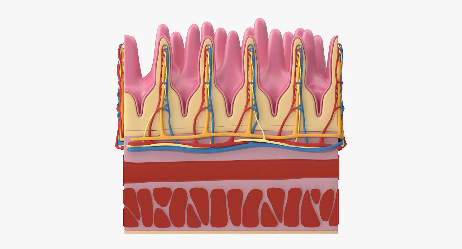3D Small Intestine Microscopic Anatomy | CGTrader
