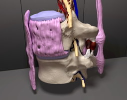 Part of the Human Spine 3D model