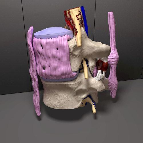 part of the human spine 3d model obj mtl c4d 1