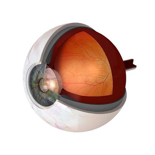 eye anatomy cutaway 3d model obj mtl 3ds lwo lw lws 1