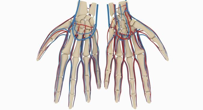 3d Hand Anatomy Cgtrader