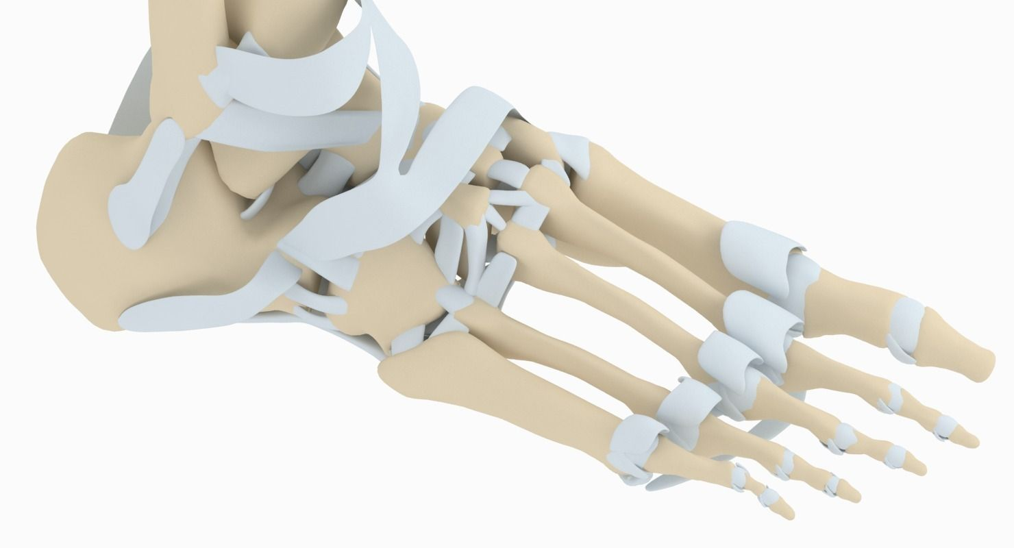 3D model Foot Anatomy | CGTrader
