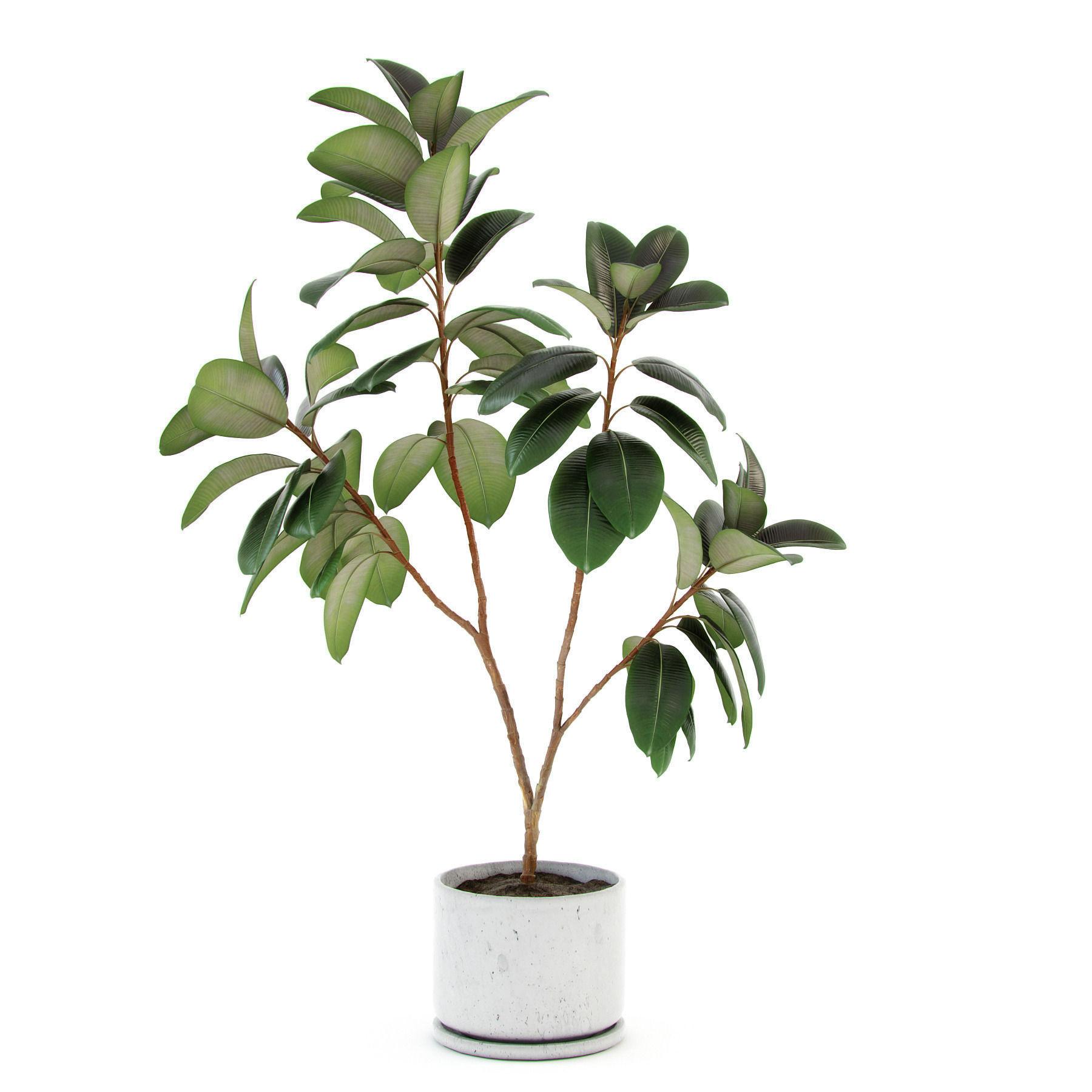 Ficus Elastica Decora Large 3d Model Max Obj 3ds Fbx Mtl