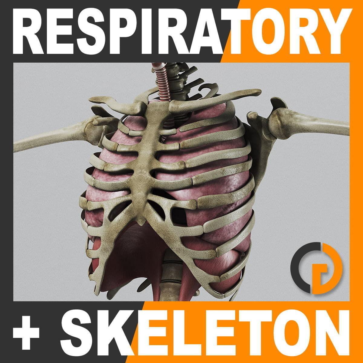 Human Respiratory System and Skeleton - Anatomy