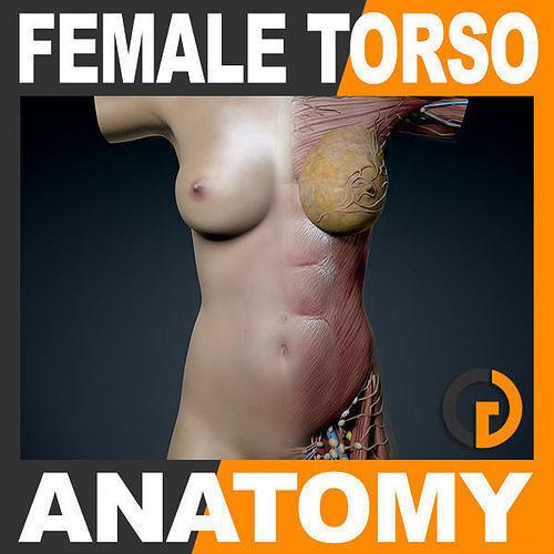Human Female Trunk Torso - Anatomy