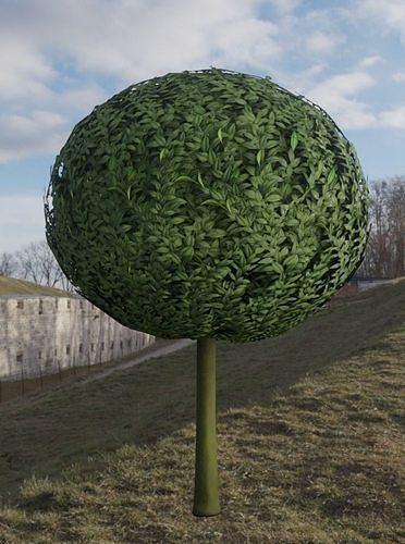 Box Tree 1 m