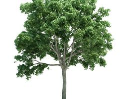 3D model Lush Green Ulmus Tree