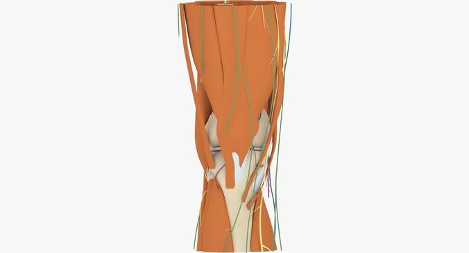 knee anatomy 3d model max obj mtl 3ds fbx ma mb 1