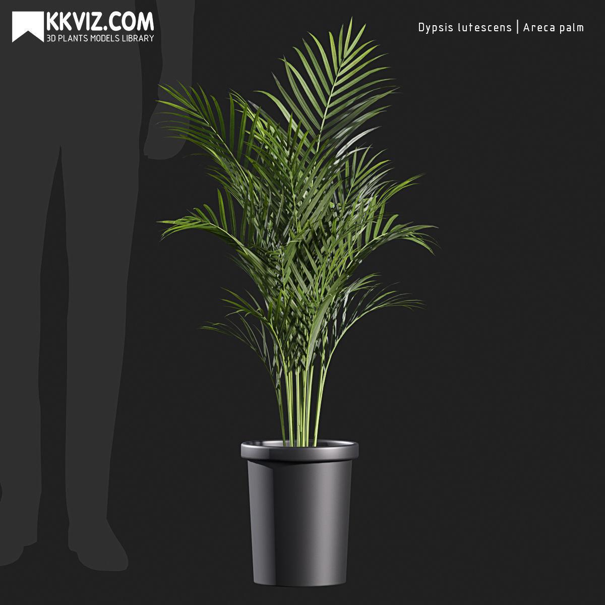 Dypsis lutescens  Areca palm-01