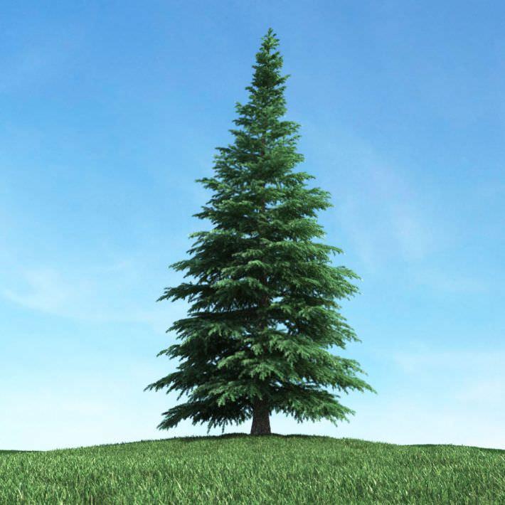 Floriography - Tree & Flower Symbolism  Fir-tree-3d-model-obj