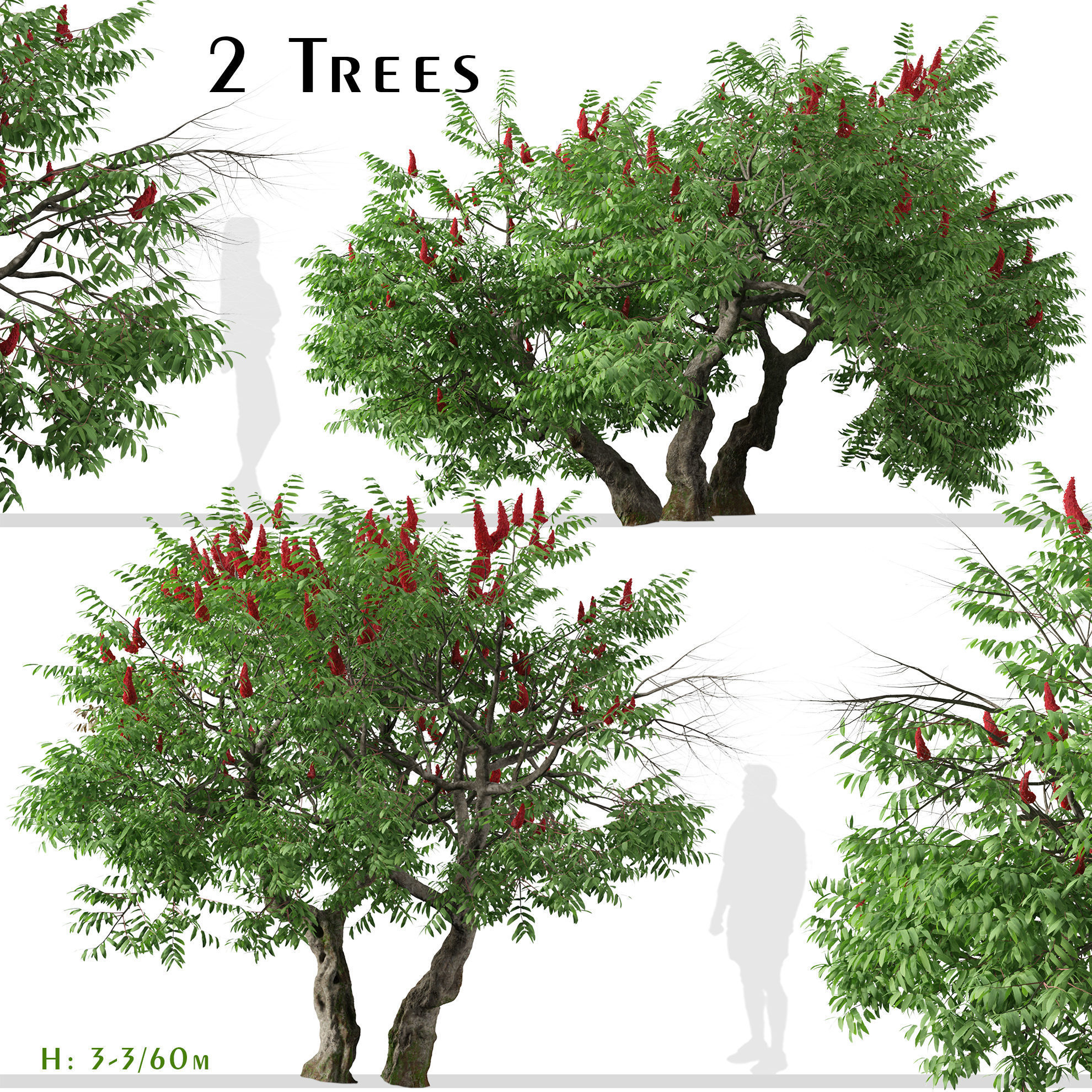 Set of Rhus typhina or Staghorn sumac Trees - 2 Trees