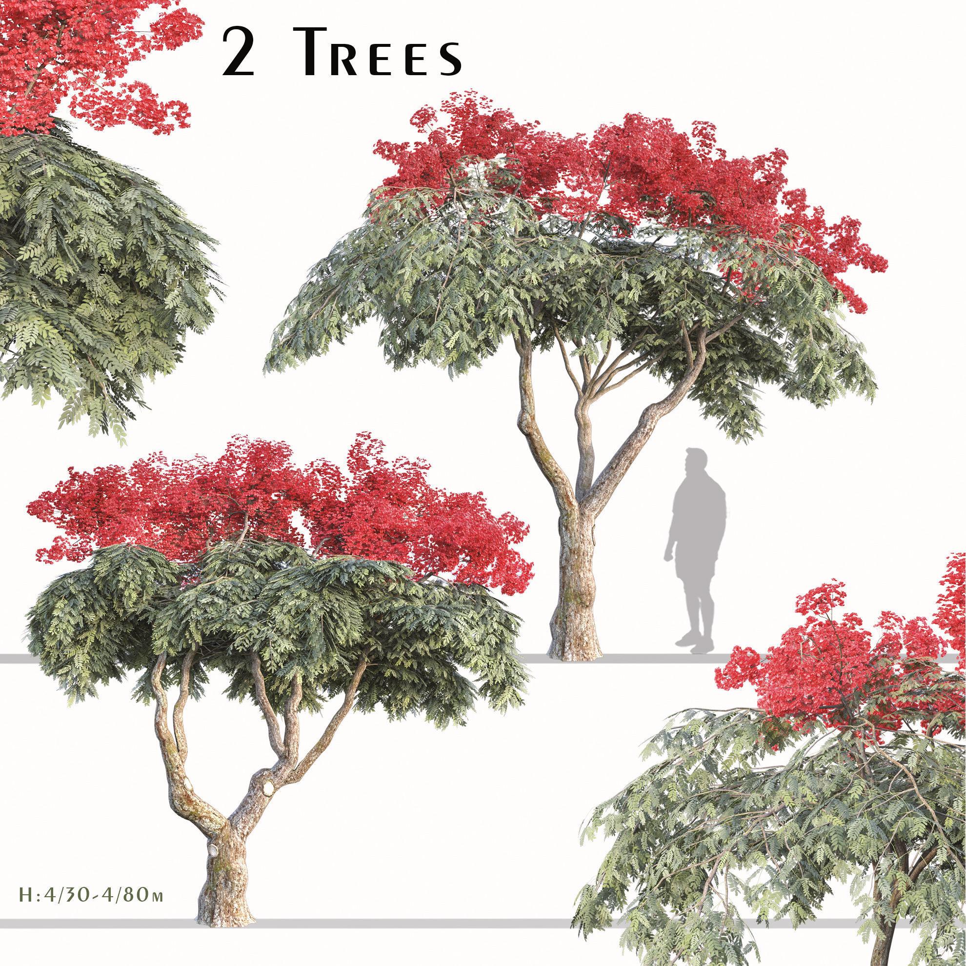 Set of Flamboyant Tree Royal poinciana - 2 Trees
