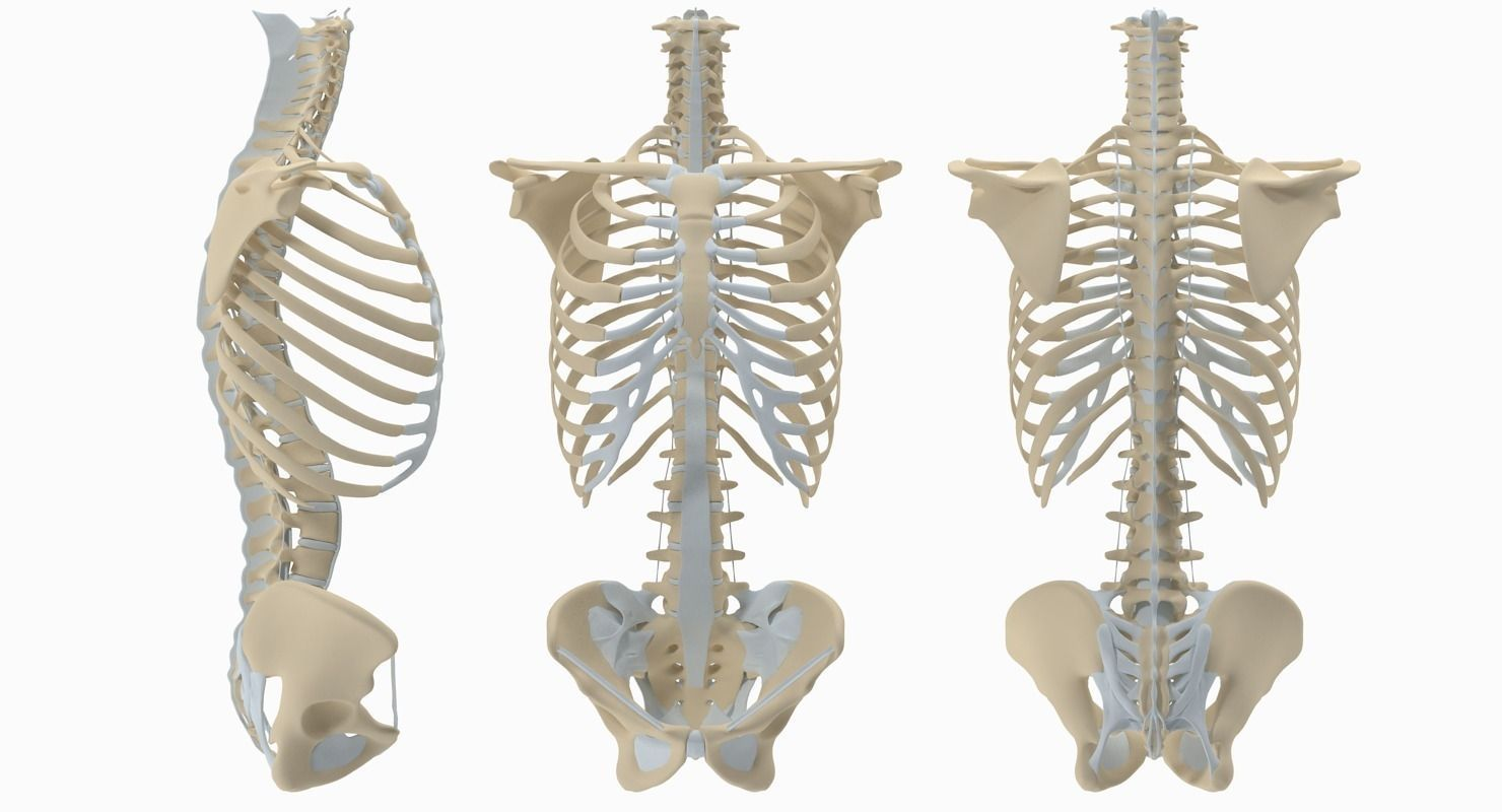 3D model Torso Skeleton | CGTrader