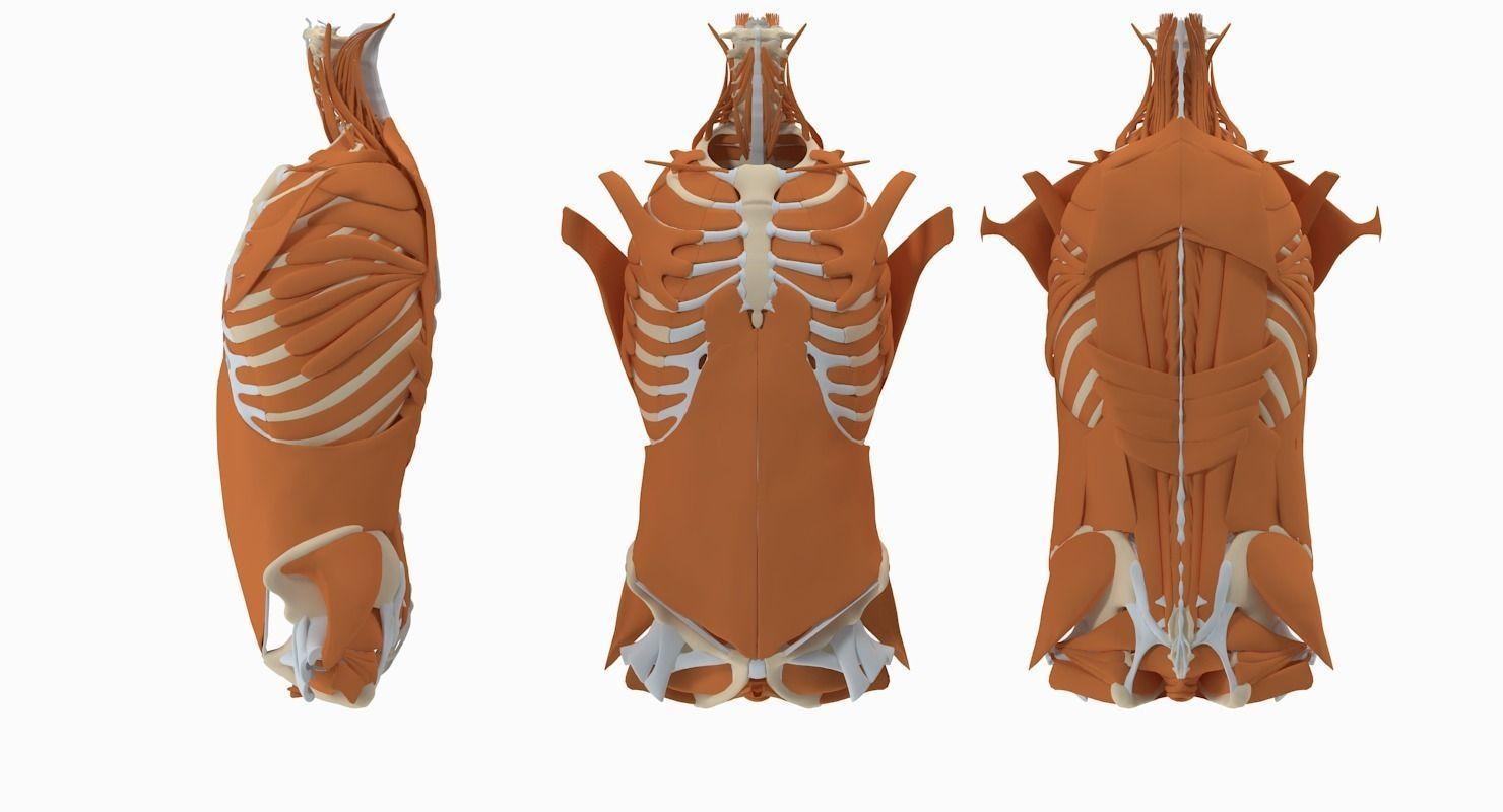 Male Torso Anatomy 3d Cgtrader