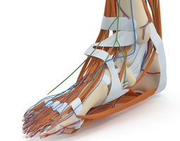 3D model Complete Foot Anatomy