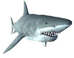 great white shark 3d model fbx