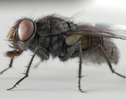 3d model housefly rigged and animated for cinema 4d