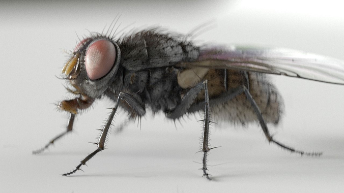 housefly rigged and animated for cinema 4d 3d model rigged animated fbx c4d 1