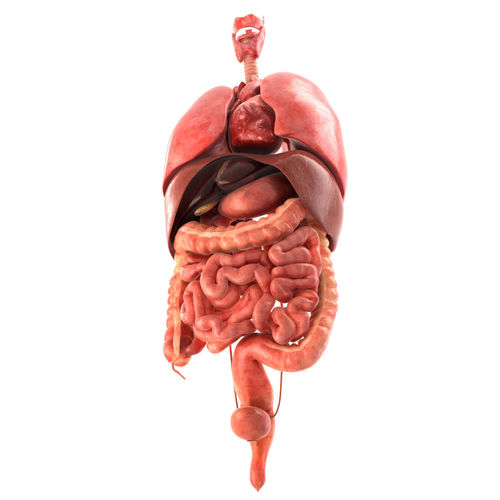 Human internal organs 3D asset | CGTrader
