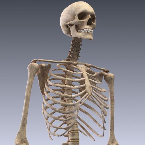 3d model human skeleton rigged vr / ar / low-poly rigged animated, Skeleton