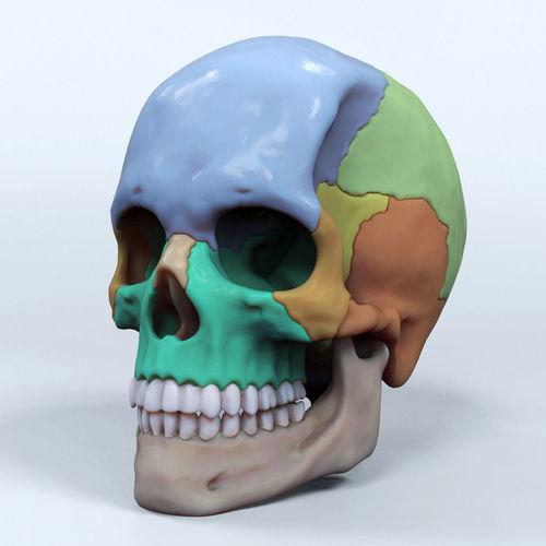 artist sculpted skull reference 3d model obj mtl stl wrl wrz tga 1