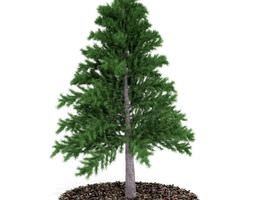3d evergreen pine tree