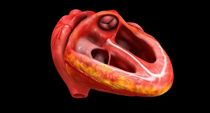 animated realistic human heart - medically accurate 3d model low-poly animated obj 3ds fbx c4d dxf stl 9