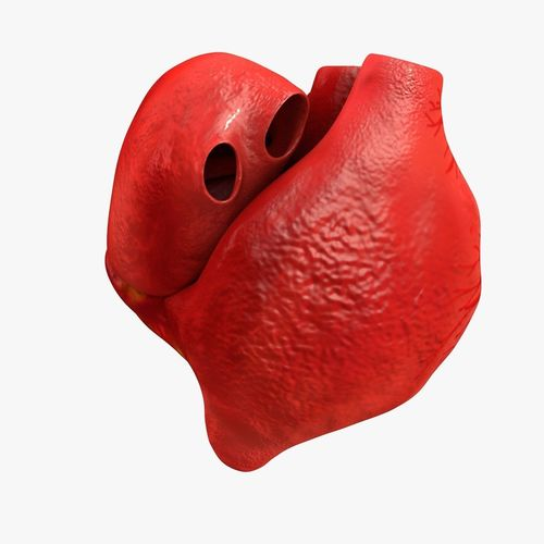 animated realistic human heart - medically accurate 3d model low-poly animated obj 3ds fbx c4d dxf stl 22
