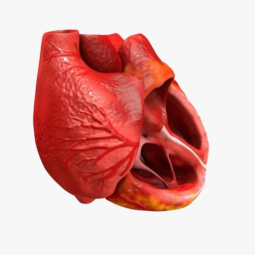 animated realistic human heart - medically accurate 3d model low-poly animated obj 3ds fbx c4d dxf stl 15