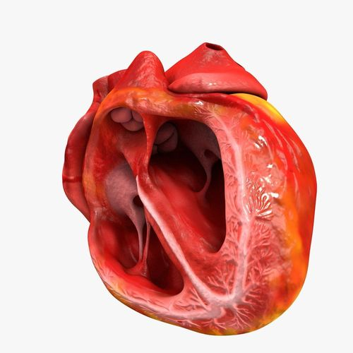 animated realistic human heart - medically accurate 3d model low-poly animated obj 3ds fbx c4d dxf stl 41