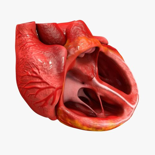 animated realistic human heart - medically accurate 3d model low-poly animated obj 3ds fbx c4d dxf stl 13