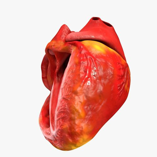 animated realistic human heart - medically accurate 3d model low-poly animated obj 3ds fbx c4d dxf stl 35