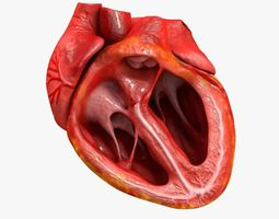 Animated Realistic Human Heart - Medically Accurate 3D Model