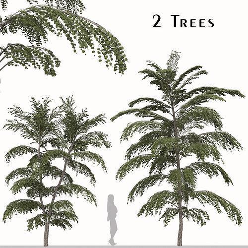 Set of Cercidiphyllum japonicum or Katsura Tree - 2 Trees
