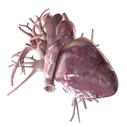 human heart beating high quality 3d model animated max obj mtl fbx 1