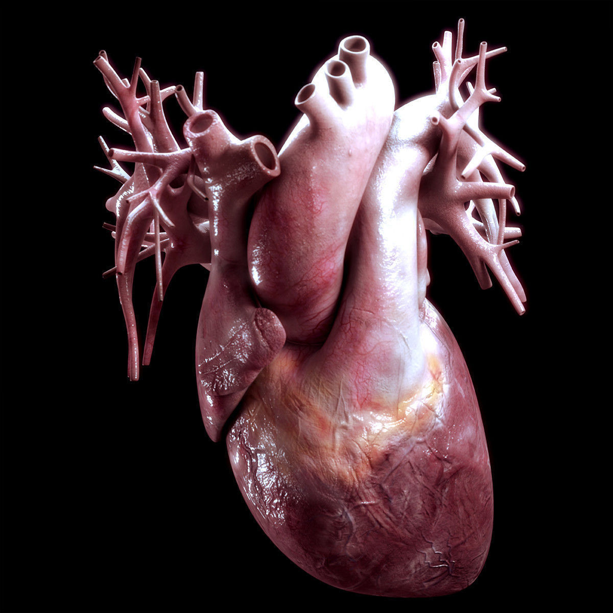 vein Human Heart High Quality 3D model | CGTrader