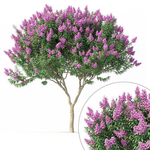 Crape myrtle No 1 with flowers