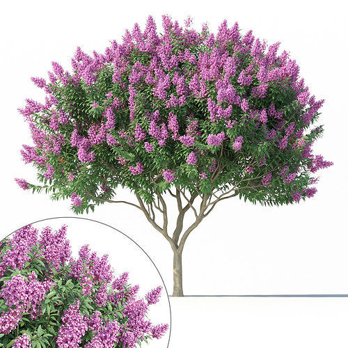 Crape myrtle No 2 with flowers