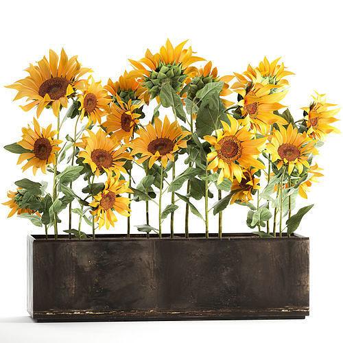 Sunflowers in a flowerpot 1021