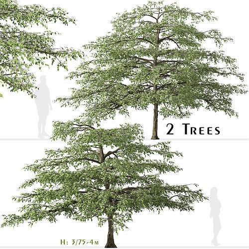 Set of Pagoda dogwood or Cornus alternifolia Tree - 2 Trees