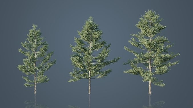 Japanese White Larch Trees