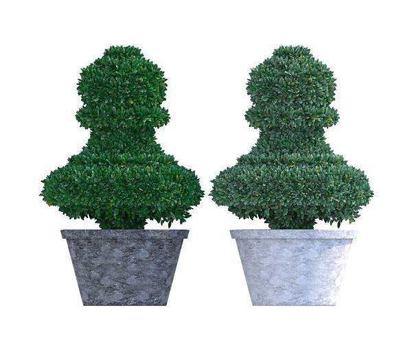 Bush plant - boxwood