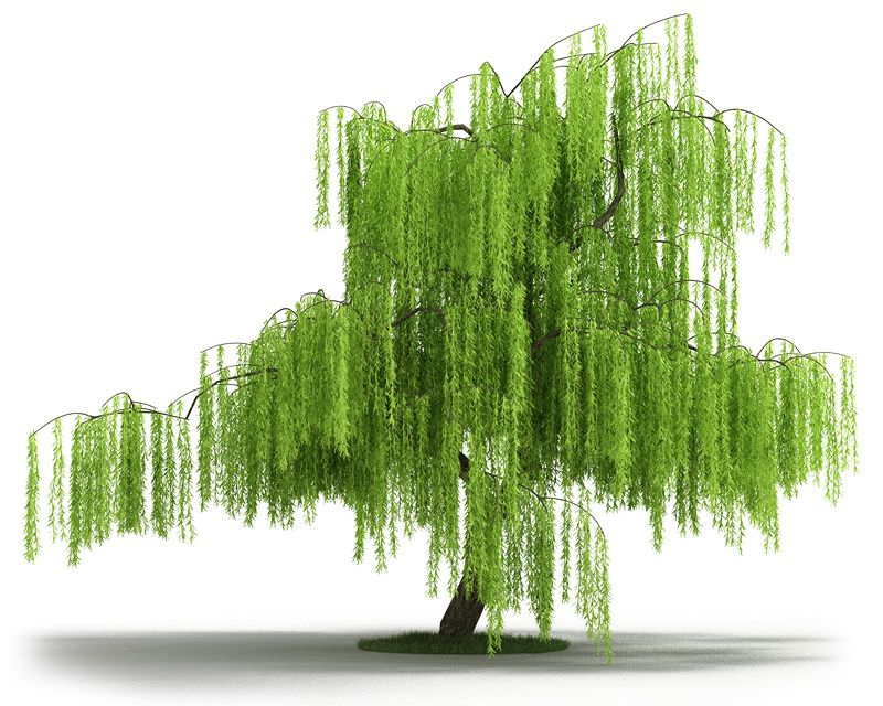 Green Willow Tree 3d Cgtrader