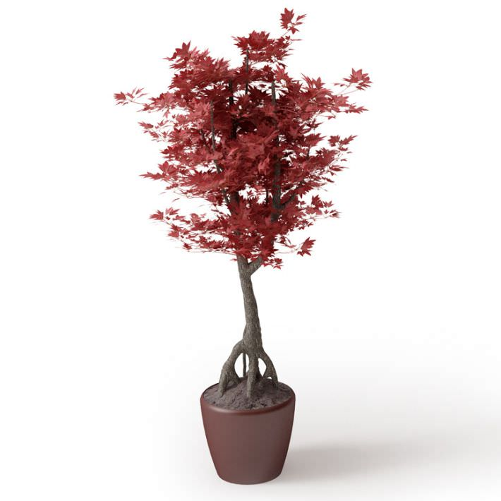 3d Model Japanese Maple Bonsai Tree Cgtrader
