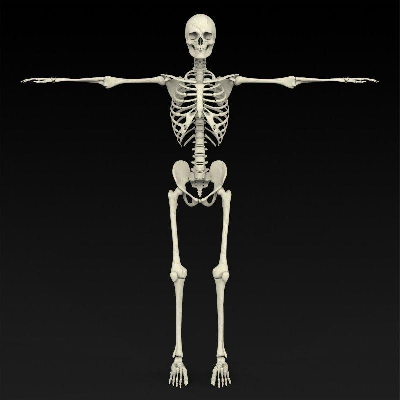 realistic human skeleton 3d model max obj 3ds fbx c4d lwo lw lws, Skeleton