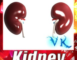 3d model human kidneys