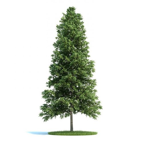 trees picea abies conifer 3d model  1