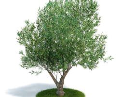 3d model tree olea europaea young olive evergreen shrub