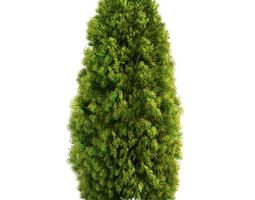 3D model Mature Thuja Tree